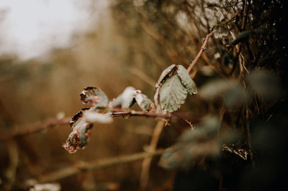 Green dry leaf of berries. Photographer memoir to be present
