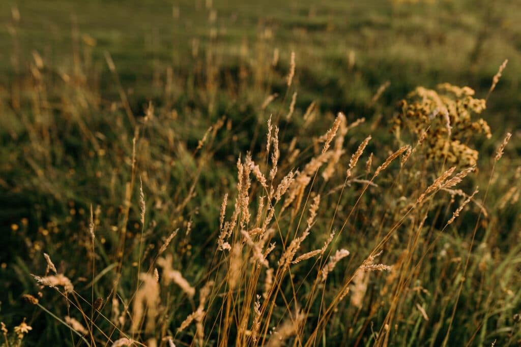 Field of wild long grass. sun is shining and making grass golden. Ewa Jones Photography