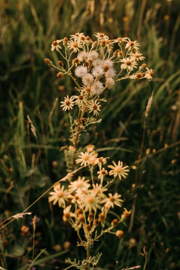 Wild flowers on the field. Flowers are yellow colour. Ewa Jones Photography