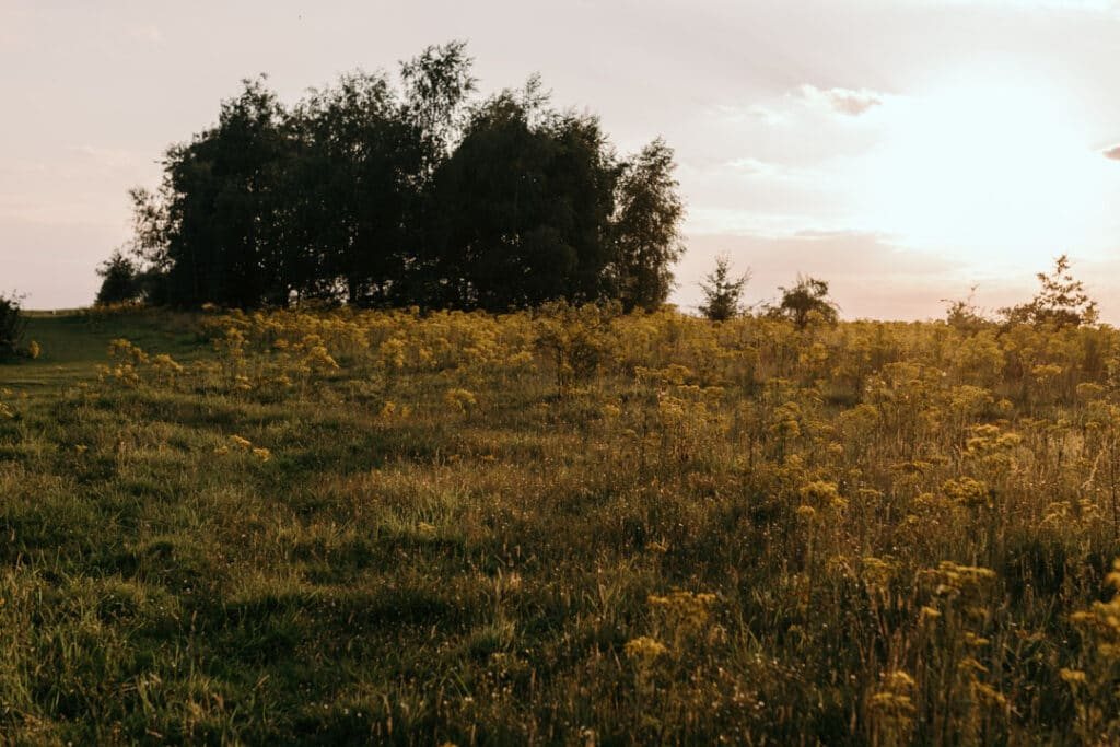 Field of lovely yellow wild flowers. Sun is shining and making the field of flowers looking gold. Ewa Jones Photography